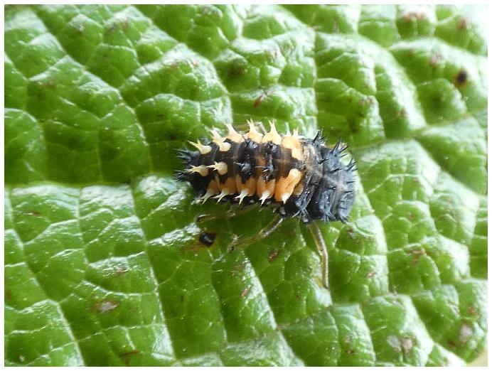larva-slunecka.JPG