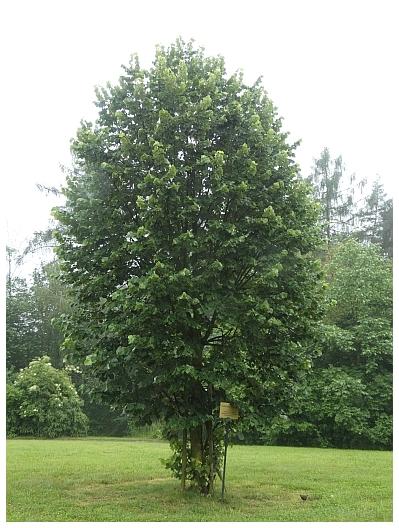 pamatny-strom-2.JPG