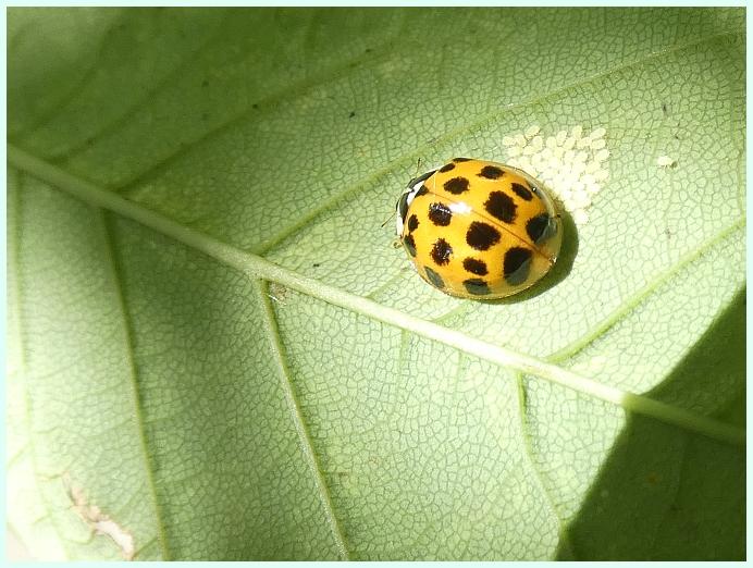 slunecko-coccinelidae-sp.JPG
