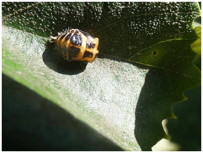 zakuklena-larva-slunecka-sedmitecneho.JPG