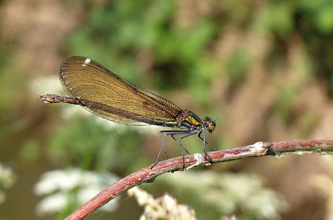colopteryx-virgo.jpg